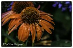 Coneflower _DSC0050 photoshop NIK edit  (nkatesphotography) Tags: brynathyncathedralgarden brynathynpa nikond2x nikonafs80400mmf4556 scenic landscape outdoors gardens flowers