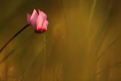 Tempo loro. (SimonaPolp) Tags: cyclamen ciclamino flower fiore summer estate august agosto nature natura wood bosco trecipressi canon bokeh hot caldo grass erba