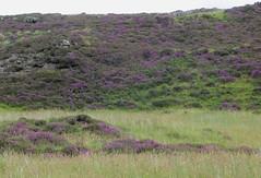En route vers les Quiraing, pninsule de Trotternish, le de Skye, Ross and Cromarty, Highland, Ecosse, Royaume-Uni (byb64 (en voyage jusqu'au 09-10)) Tags: kiltrock trotternish trotternishpeninsula skye isleofskye ledeskye innerhebrides hbrides hbridesintrieures le isle island isla rossandcromarty ross rossshire highland highlands loch ecosse escocia schottland scotland scozia grandebretagne greatbritain grossbritanien granbretana royaumeuni reinounido vereinigtesknigreich ue uk unitedkingdom eu europe paysage paisaje paesaggio landschaft landscape vue view vista veduta raasay soundofraasay quiraing bruyre heather violet purple