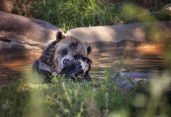 Kodiak Bear (*~ Nature's Gifts Captured  ~*) Tags: kodiakbear bear brownbear tamihrycak naturesgiftscaptured nikond4s creative animal nature captive zoo bronxzoo newyorkcity photoshop happy water swim fur bathing summer2016 specanimal