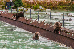 (MichelleLegere) Tags: grizzly grizzlies bears weir haines alaska ak usa us unitedstatesofamerica unitedstates chilkatriver salmon fishing brownbear autumn fall