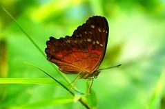Anartia amathea (Chris-17) Tags: papillon butterfly drosselklappe farfalle mariposa insect bug lepidoptera nymphalidae