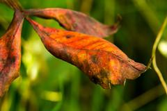 Harbinger of Fall (johnny4eyes1) Tags: leaves sumac natureconservancy nature leaf macro fall closeup autumn