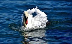 Cadence de combat (Diegojack) Tags: nikon nikonpassion d7200 eau léman morges cygnes oiseaux