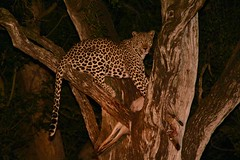Leopard night shot (JH Byrne) Tags: leopard tree cat kill kruger safari africa outdoor carnivore predator lion jackal cub hippo rhino rhinoceros elephant sabie river wild wildlife nature