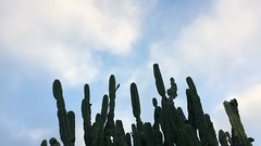 Morning landscape (el cajon yacht club) Tags: hedge cactus blooms cereus peruvianus