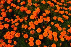 "Botanical Garden in Zabrze - ""mierdziuchy"" rulez (ChemiQ81) Tags: 2016 polska poland polen polish polsko chemiq  poljska polonia lengyelorszgban  polanya polija lenkija  plland pholainn   pologne puola poola pollando    lsk slezsko silesia schlesien outdoor silesian zabrze ogrd botaniczny flower plant dahlia dalia dalie kwiat kvtina"