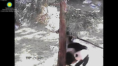 2016_09-06l (gkoo19681) Tags: beibei meixiang playtime treetime sohappy confused climbing dangling stillgotit youngatheart silliness ccncby nationalzoo