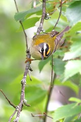 Firecrest (Firecrest) (Lathers) Tags: firecrest regulusignicapillus bavaria bayern germany forest canon canoneos1dx canonef100400f4556isusmmarkii june2016