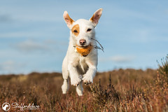 Dolly doing what she loves most (StaffordshirePhodography) Tags: sony a7rii sonya7rii sonyalpha dogphotography petphotography actionphotography dogphotographer canonfd canonfd50mm