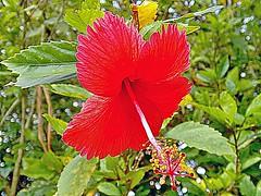 Hibiscus Rosa-Sinensis - Hibisco - Flora - Florianópolis-SC (Regis Silbar) Tags: regissilbar regis silbar hibiscusrosasinensis hibisco flora flor florvermelha florianópolis sc santacatarina