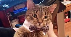 His blue bowtie via http://ift.tt/29KELz0 (dozhub) Tags: cat kitty kitten cute funny aww adorable cats