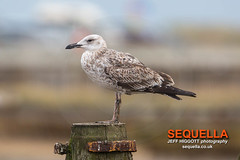 Caspian Gull (Jeff Higgott (Sequella.co.uk) - 2 million views!) Tags: jeffhiggottphotography jeffhiggott sequella suffolk laruscachinnans laridae caspiangull ponticgull
