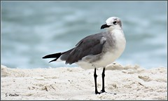 Seagull (Suzanham) Tags: beach sand seagull alabama ocean