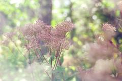 Summer Daze (Sugar Crisp) Tags: contax aria 35mm film analogue 2016 august summer reverie botanica flowers