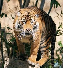 Balancing On All Four Paws (greekgal.esm) Tags: sumatrantiger tiger bigcat cat feline animal mammal carnivore indah losangeleszoo lazoo losangeles griffithpark california sony a77m2 a77mii sal70300g tigress