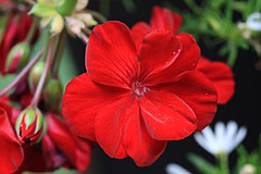 Red Flower Macro (hbickel) Tags: red flower macro macrolens photoaday pad canont6i canon