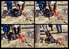The Market Place Butcher (Normann Photography) Tags: 1992 abouquamha fntjeneste forsvaret hasbaiyya hasbeya kawkaba kontigent29 lebanon libanon nabatiye nahrelhasbani peacecorps unservice unifil unitednations unitednationsinterimforceinlebanon blood butcheringangoat cutthethroat market peacekeepers slaughter