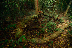 Images of the jungle (supersky77) Tags: africa forest guinea rainforest westafrica creeper liana foresta jungla rampicante guineabissau giungla africaoccidentale cantanhez