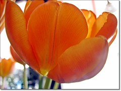 Orange tulips from my nice (HJsfoto) Tags: tulips blommor tulpaner bej awesomeblossoms