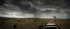 trailing the herd (g_e_r_r_y) Tags: africa road tree clouds dark kenya trails stormy off safari zebra wildebeest masaimara