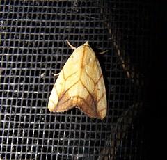 Xanthodes transversa (Oriolus84) Tags: insect moth lepidoptera noctuidae vogonpoetry xanthodestransversa