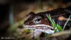 Wood Frog (Rana sylvatica) - profile at edge of pool (DaveHuth) Tags: ny amphibian frog houghton animalia vernalpool sylvatica anura amphibia ranidae woodfrog chordata ranasylvatica athleticfield lithobates taxonomy:class=amphibia taxonomy:order=anura taxonomy:family=ranidae taxonomy:kingdom=animalia taxonomy:phylum=chordata lithobatessylvaticus taxonomy:species=sylvaticus taxonomy:binomial=ranasylvatica taxonomy:binomial=lithobatessylvaticus taxonomy:genus=lithobates taxonomy:common=woodfrog
