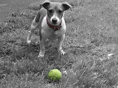 Holly (Kearneyjimbo) Tags: bw dog pet ball tennis jackrussell bestfriend caine