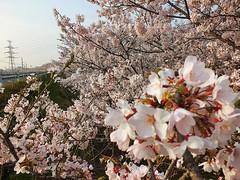 All Things Japanese (Gavin Kealy) Tags: pink colors beautiful japan garden cherry colorful colours blossoms shikoku sakura cherryblossoms colourful hanami saijo  niihama