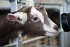 Smile , camera action (juliereynoldsphotography) Tags: camera animals goat babygoat juliereynolds juliereynoldsphotography stockleybirdcentre