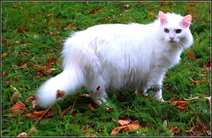 Elvis ! (Grard Farenc (slowly back) !) Tags: pet white animal cat fur kitten feline chat pussy elvis kitty gato puss blanc fourrure flin poils