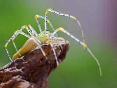IMG_0173 (thienbs) Tags: macro spider thienbs