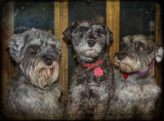The Three Amigos (jta1950) Tags: portrait dog chien pet pets cute texture dogs animal beard three adorable canine schnauzer miniatureschnauzer dogportrait