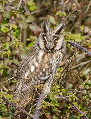 Long-eared Owl, Asio otus (Friends of Groyne No. 4) Tags: bird watcher