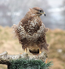DSCN7467 BUZZARD (ivorrichardk) Tags: