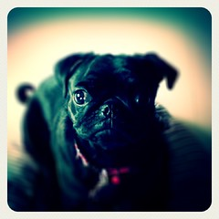 Candy (Sherly Desnita) Tags: black female puppy ipod candy touch pug edit leme