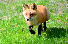 DSC_0158 (RachidH) Tags: nature backyard wildlife nj fox sparta renard rachidh