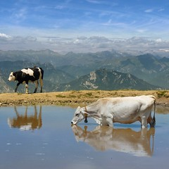 Dairy cow cooling down in the mountain pool (Bn) Tags: camera blue summer sky italy panorama mountain lake holiday mountains alps water pool smile car cheese rural trekking reflections garden walking polaroid cow milk italian topf50 garda rocks europe strada mediterranean italia photographer lift view cows drink hiking path altitude farming flight down cable ridge liftoff primo edge panoramica tandem elevated peaks milka viewpoint fiore higher topf100 walkers mont thermal climate breathtaking malcesine cowbell paragliders gardameer cooling baldo dairycow 100faves 50faves panview 2218m