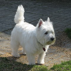 """Handsome Riley"" (ellenc995) Tags: friends riley westie westhighlandwhiteterrier groomed lookinggood coth supershot abigfave citrit platinumheartaward rubyphotographer 100commentgroup coth5 naturallywonderful 5wonderwall thesunshinegroup sunrays5"