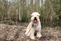 Enjoying the great outdoors... (milikin) Tags: softcoatedwheatenterrier scwt