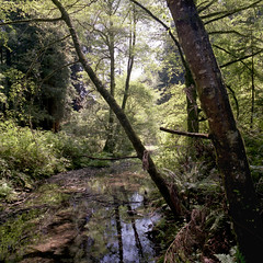 Peaceful Redwood Creek (Scott Holcomb) Tags: california 6x6 mediumformat marin 120film muirwoodsnationalmonument redwoodcreek hasselblad500c improvisedtripod carlzeis fujipro400hfilm epsonperfectionv600 northerncaliforniacoastalforest photoshopdigitalization vprismfinder distagon14f50mmtlens sekonicflashmatel308slightmeter
