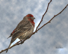House Finch male (colorob) Tags: painterly colorado housefinch littleton carpodacusmexicanus coloradowildlife colorob nikond800e