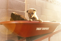 Brown Chow Pup in a Wheelbarrow (Immature Animals) Tags: arizona rescue baby cute animal puppy fur nose eyes backyard tucson adorable marshall whiskers derek bark chow pup wheelbarrow chowchow koalition derekmarshall dontfallyo