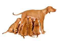 Mother of Eight (edwindejongh) Tags: dog chien puppy pups puppies drink drinking hond perro hund drinken trinken eight ras boire puppie acht viszla honden zogen jessieclaire magyarvizsla animalhandling drinkend edwindejongh dierenfotografie catvertise sabinevanderhelm cappictures hongaarsestaandehond