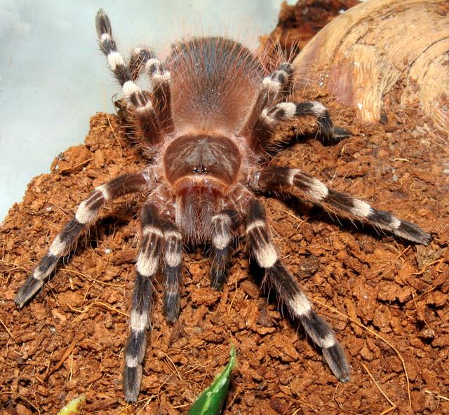Tarantula: Giant White Knee - Acanthoscurria geniculata