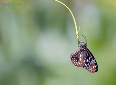 Bungie Butterfly (rQQzy) Tags: blue green butterfly insect wings vine creature