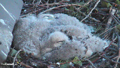 sleeping young (Cornell Lab of Ornithology) Tags: bird university cams cornell redtailedhawk nestlings labofornithology cornelllabofornithology