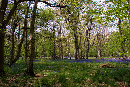 Ashridge Bluebells