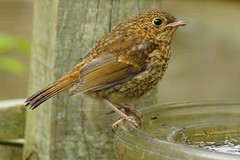 At the drinking fountain. (peterdouglas1) Tags: birds robins gardenbirds