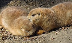 Together (njchow82) Tags: nature animal closeup wildlife pair together calgaryzoo blacktailedprairiedog animaladdiction thewildlife worldofanimals nancychow canonpowershotsx50hs